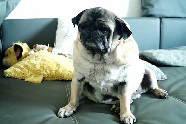 Домосед-обжора мопс: сколько лет живёт этот милый питомец в домашних условиях