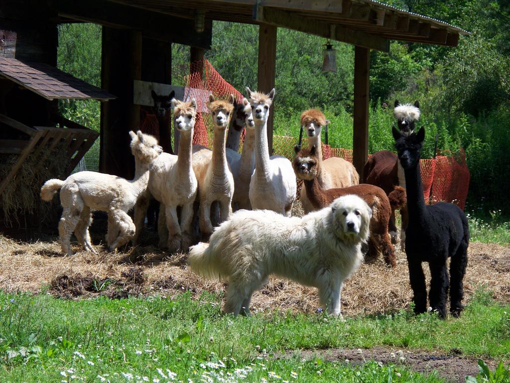Пастушья собака: шотландские, чабанские и другие породы