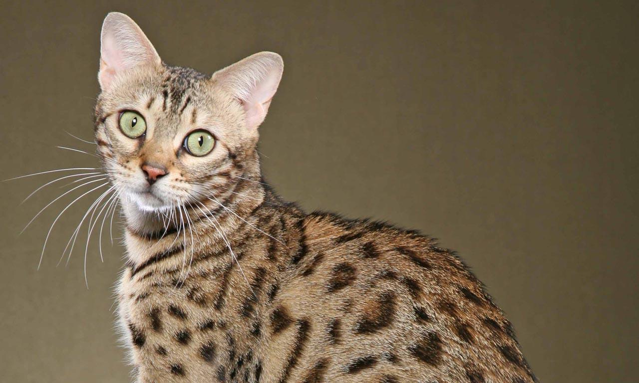 Самые дорогие кошки в мире и их породы: топ 10