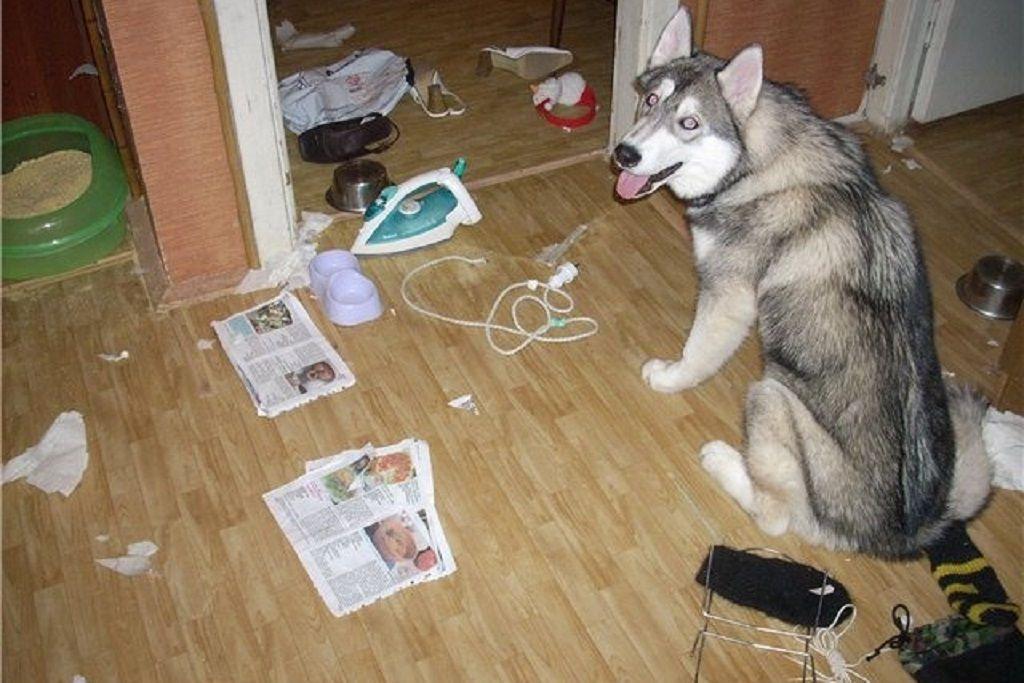 Хаски в квартире: можно ли держать, уход и содержание