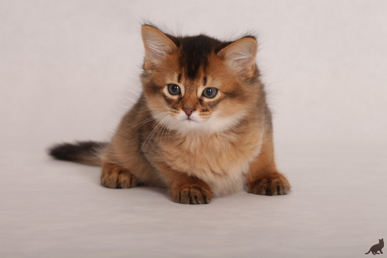 Сомалийская кошка: описание породы и характер