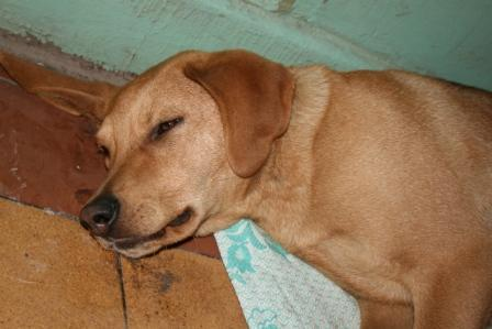 Темная моча у собаки: причины коричневого оттенка