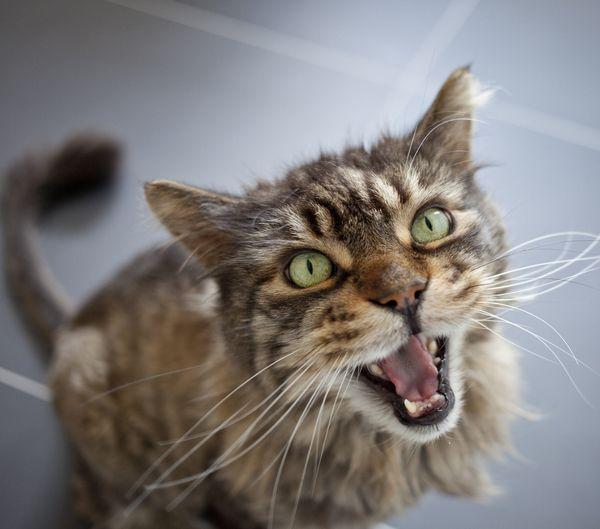 Почему кошка орет днём и ночью — причины и методы решения проблем