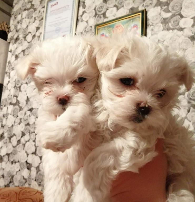 Собаки которые не линяют и не пахнут: подходящие породы