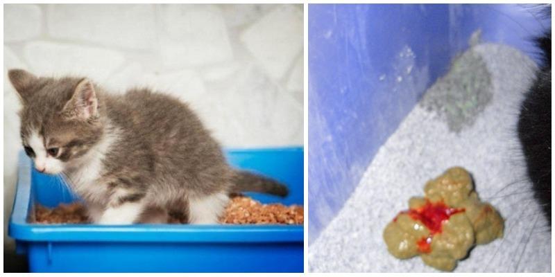 Кошку рвет после еды непереваренной пищей