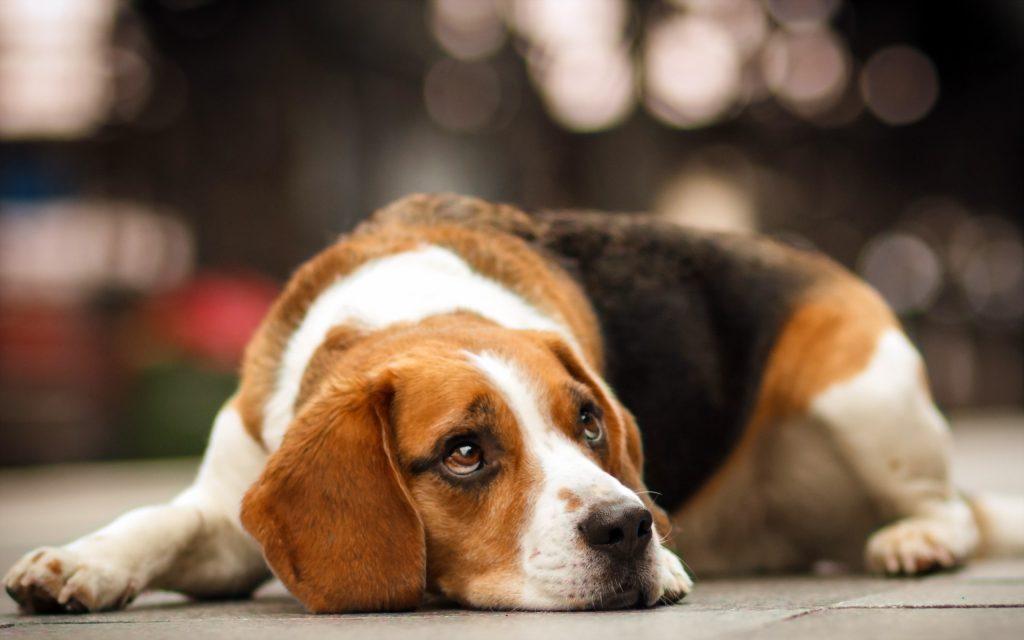7 главных заблуждений о маленьких породах собак