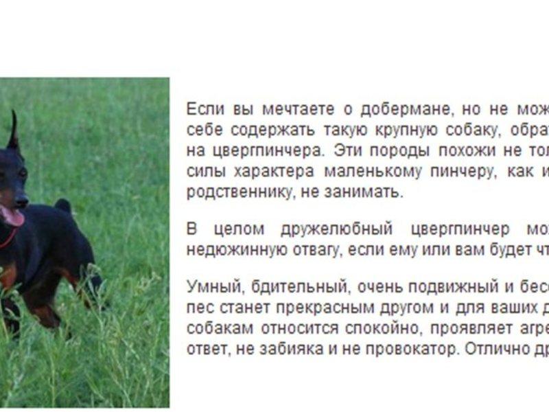 Мини-доберман (карликовый): как называется порода