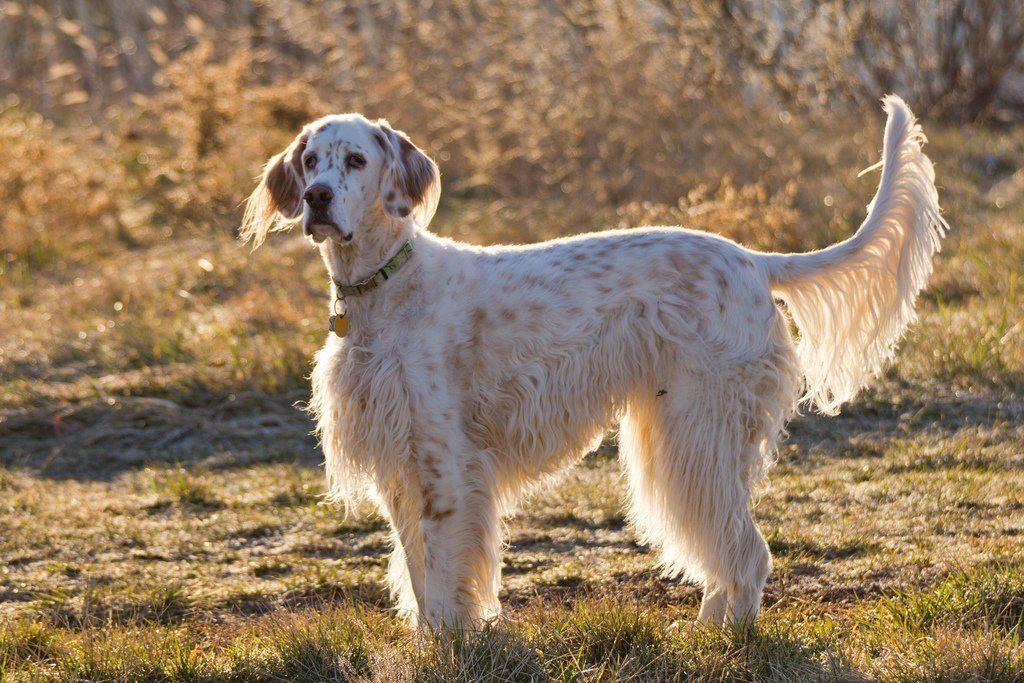 Английский сеттер (лаверак): собаки