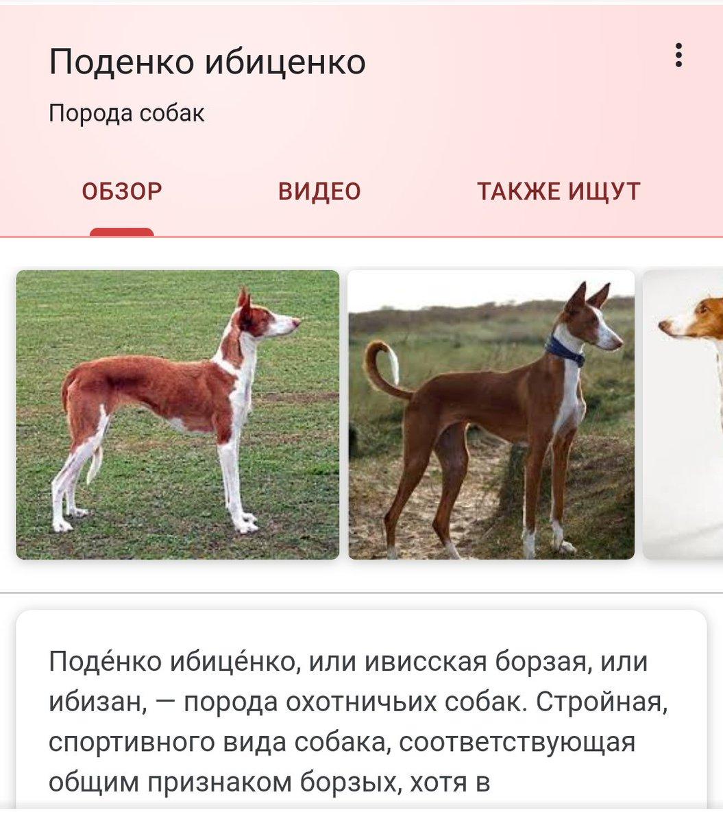 Порода поденко ибиценко (ивисская борзая собака)