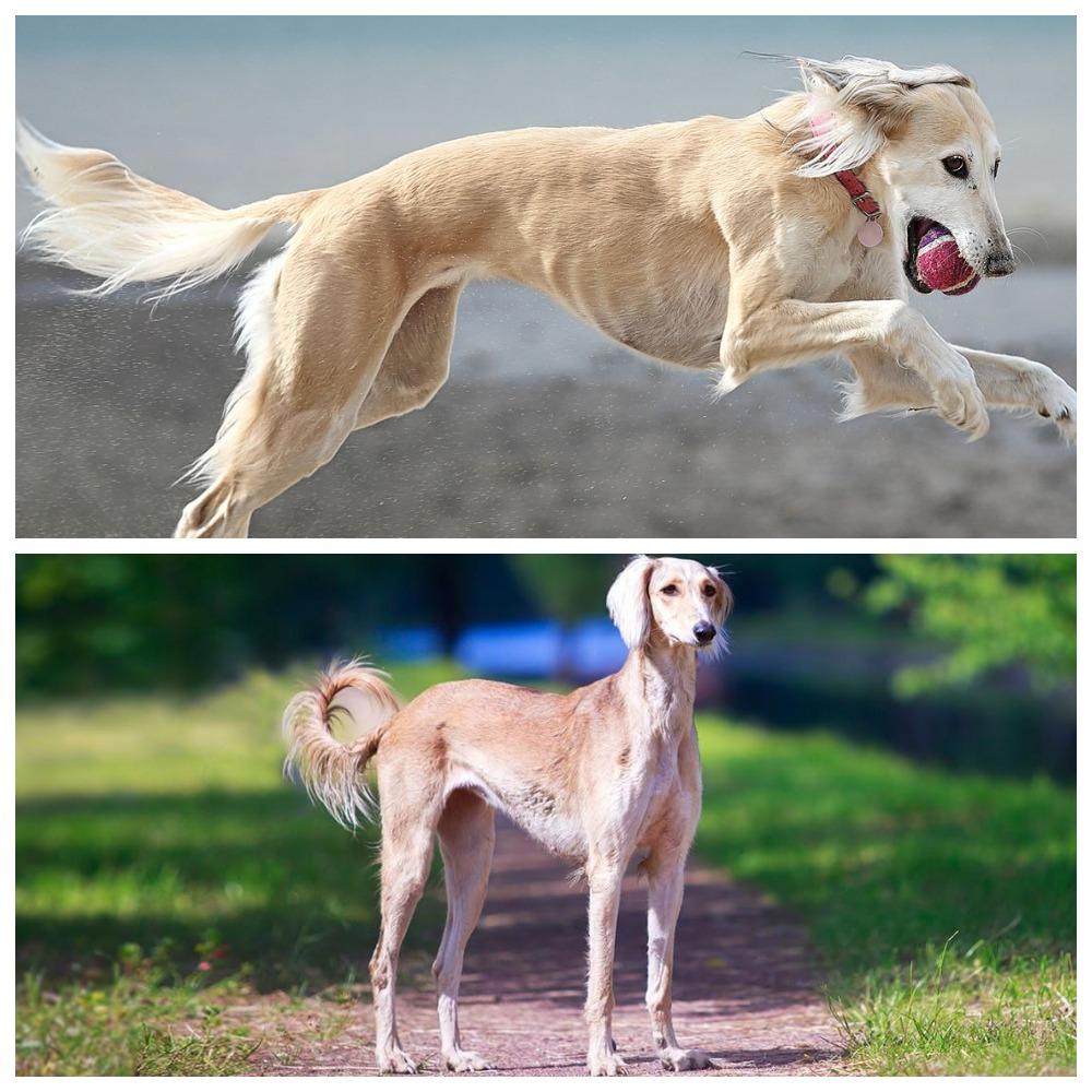 Салюки (порода собак): описание и рост борзой персидской