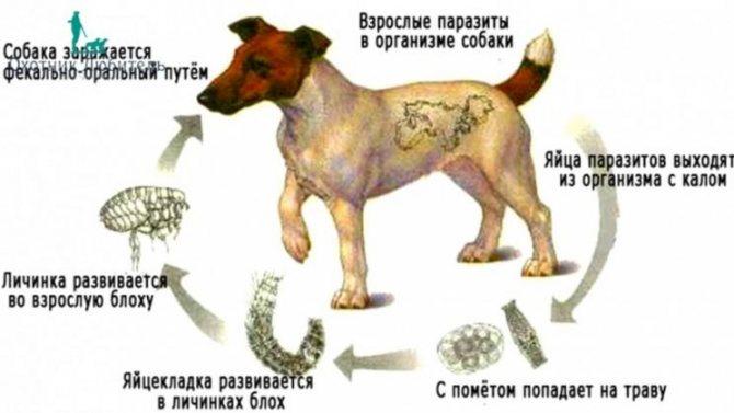 Собака стала чаще уставать? Основные признаки дирофиляриоза