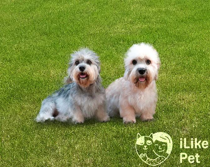Денди-динмонт-терьер: описание собаки