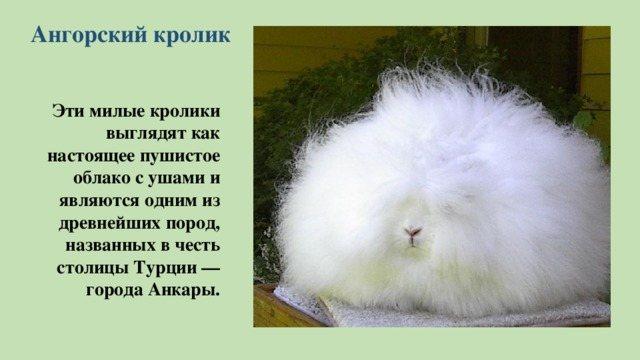 Ангорский кролик — что это за порода, сколько живет