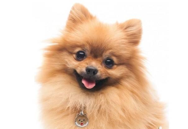 Как назвать шпица мальчика или девочку: клички для собак