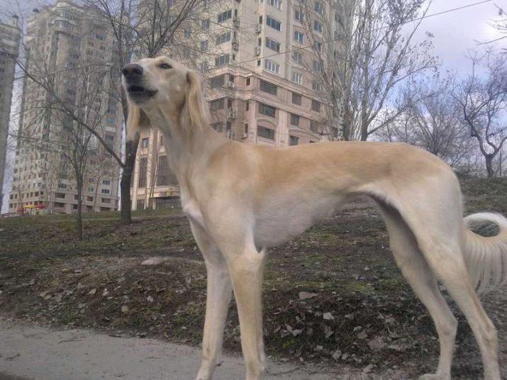 Тазы (Казахская борзая)