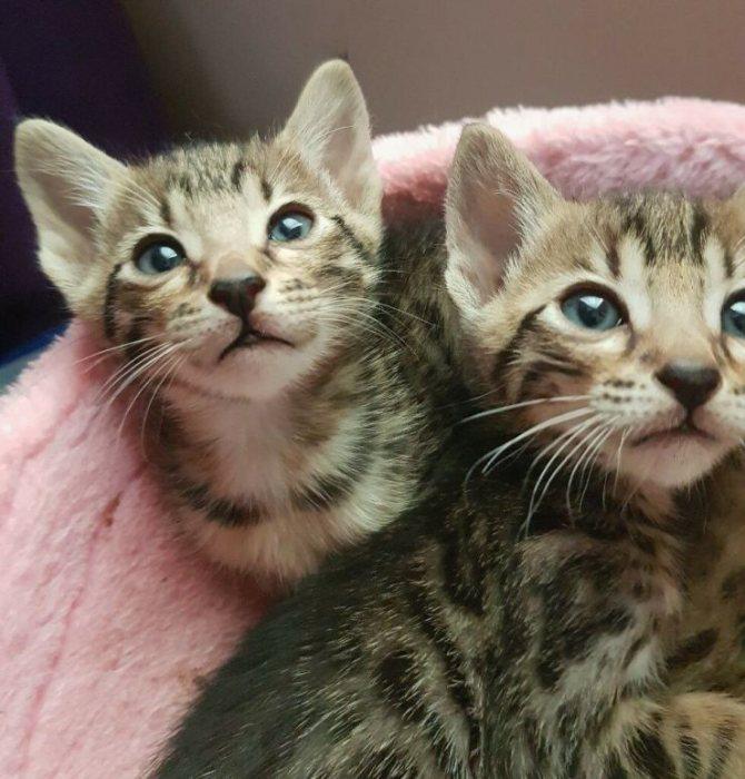 Кошка серенгети — домашний сервал