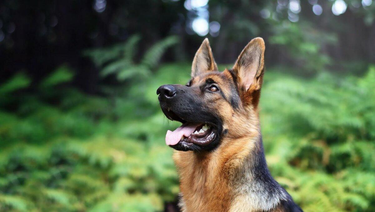 Собаки компаньоны: породы