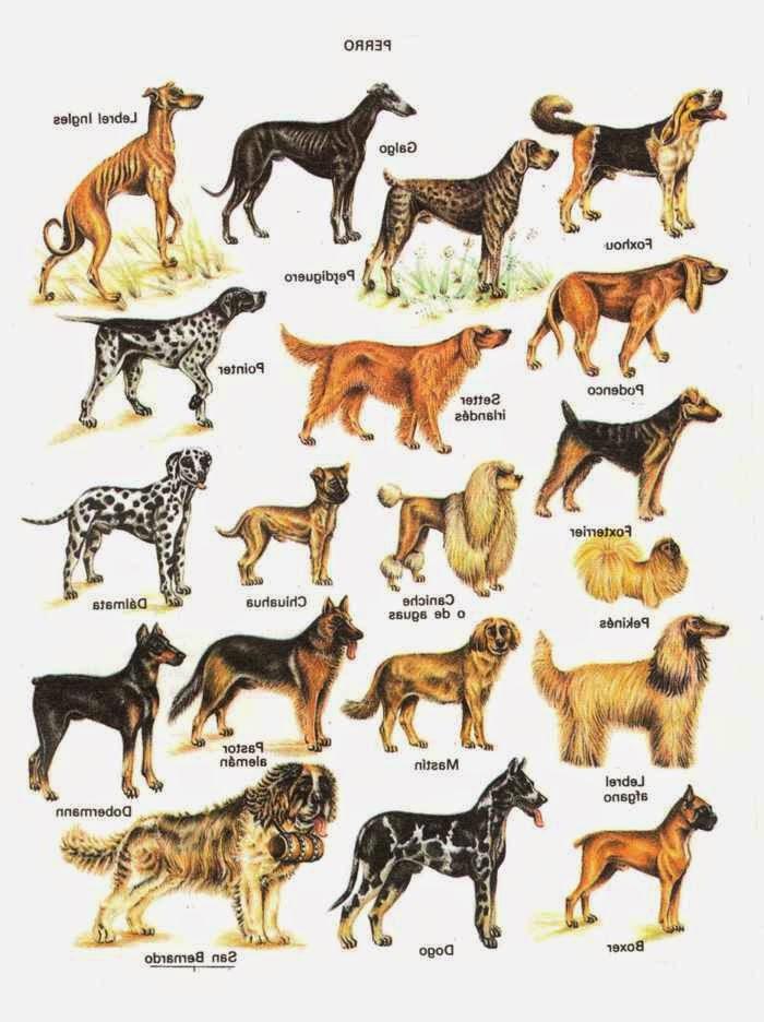 Средние породы собак с названиями: обзор питомцев таких размеров