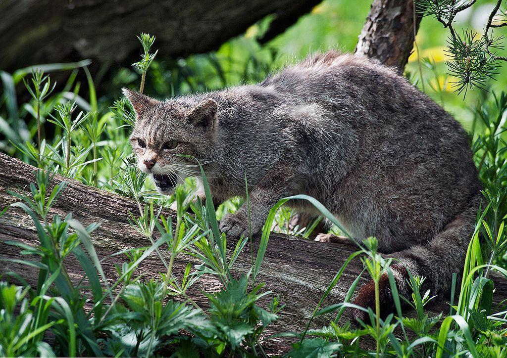 Дикий лесной европейский кот