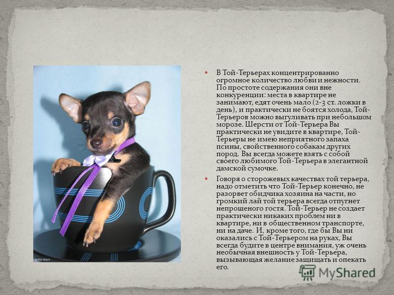 Той-терьер (русский и московский): описание породы