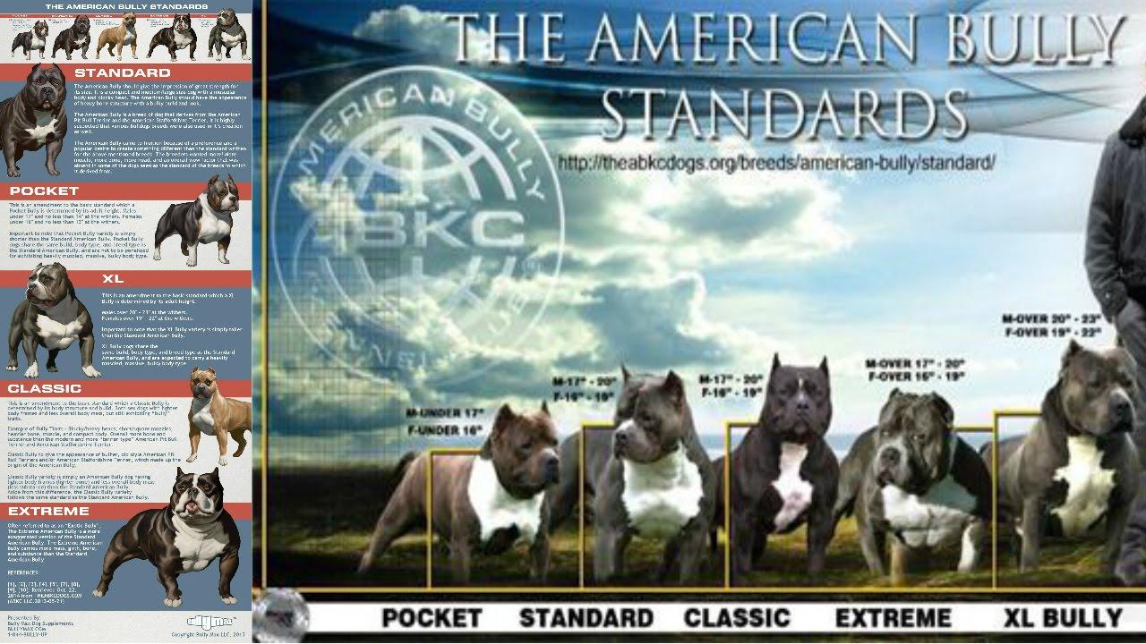 Американский булли: характеристика породы собак