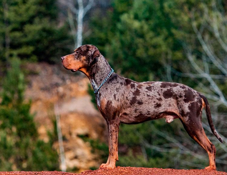 Редкая порода с запоминающимся внешним видом — леопардовая собака Катахулы