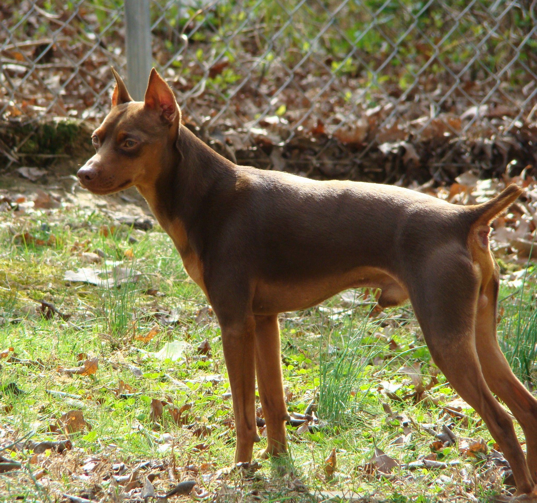 Гладкошёрстные собаки: удобные и практичные
