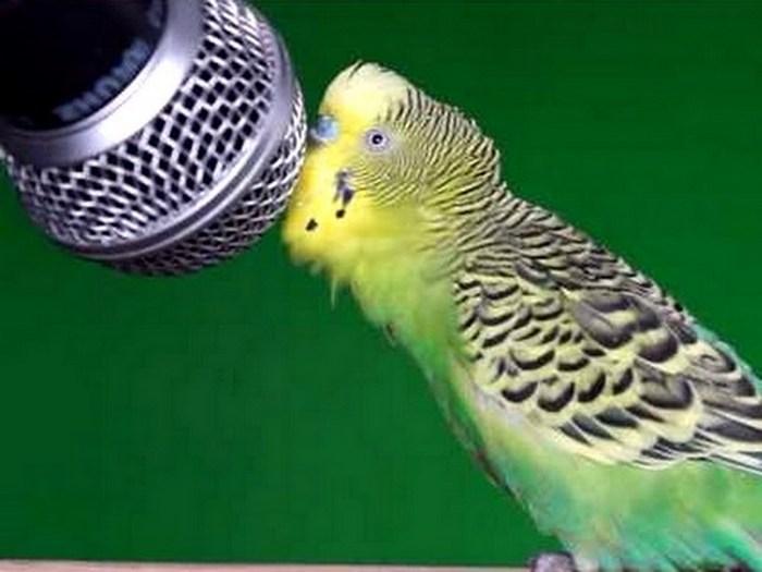 Как научить волнистого попугая говорить