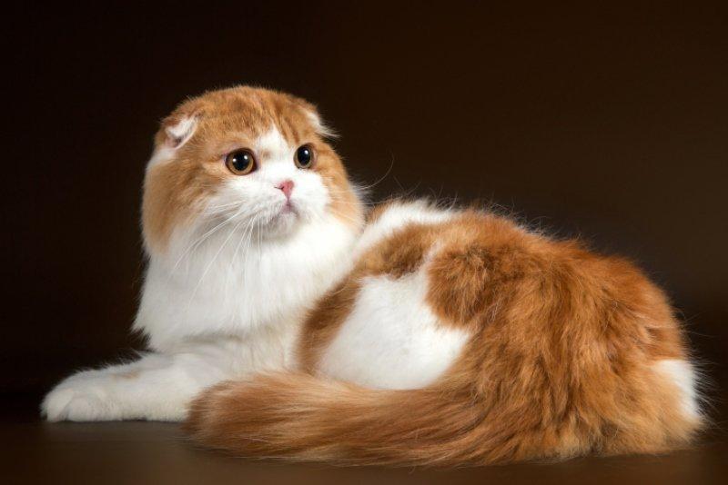 Хайленд фолд (шотландская вислоухая длинношерстная кошка)