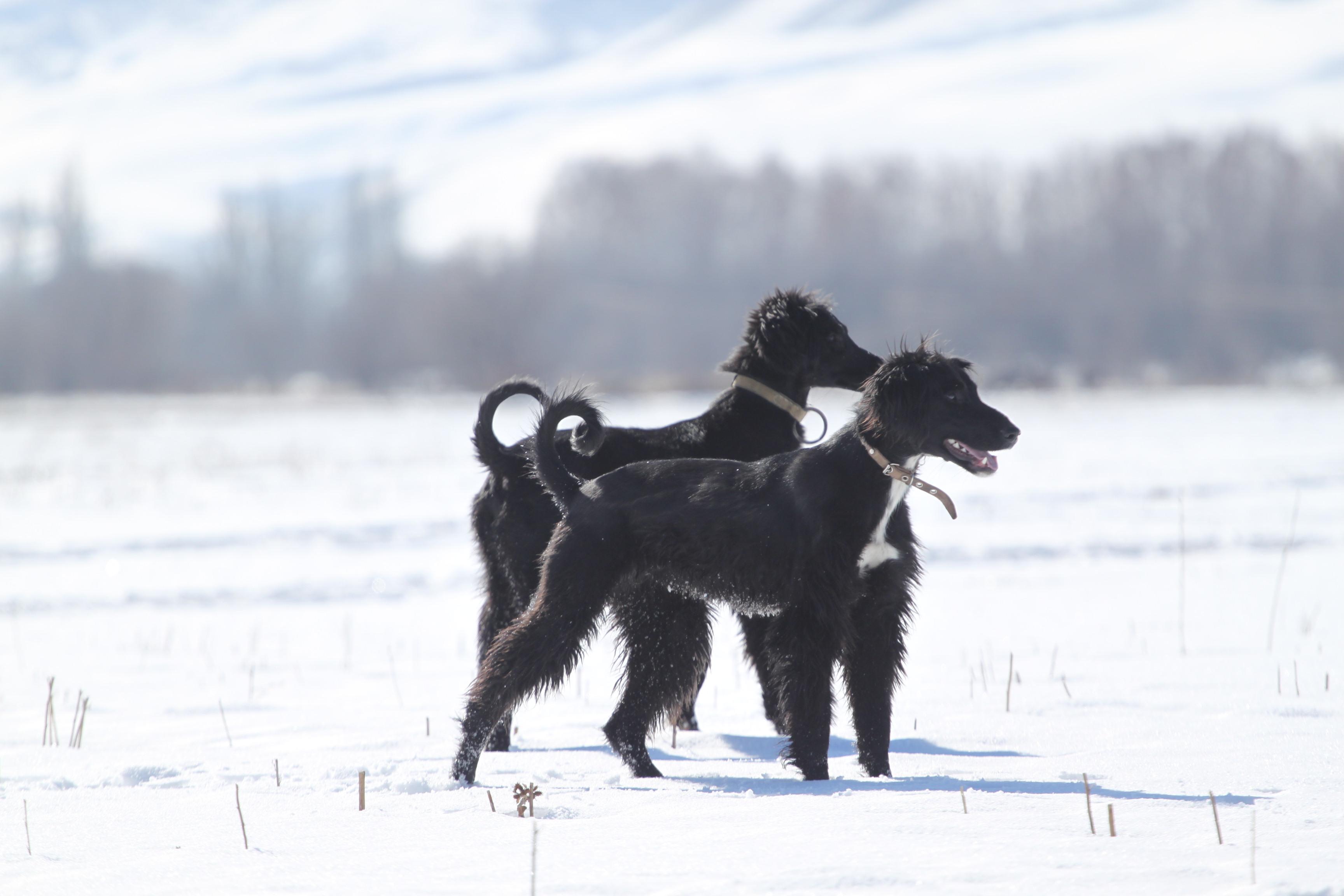 Тайган (Киргизская борзая)