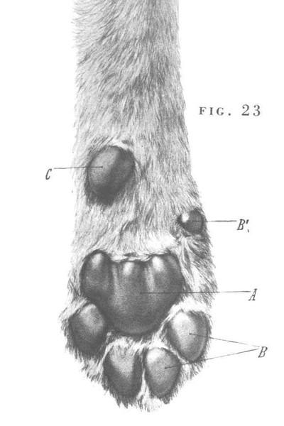 Лапки-царапки: считаем пальцы у кошки