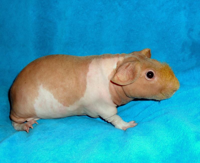 Лысая морская свинка — содержание видов без шерсти
