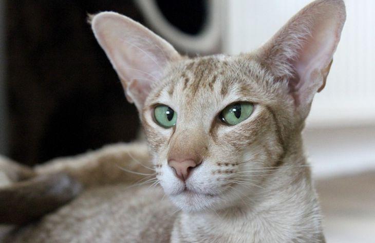 Какие породы кошек не линяют