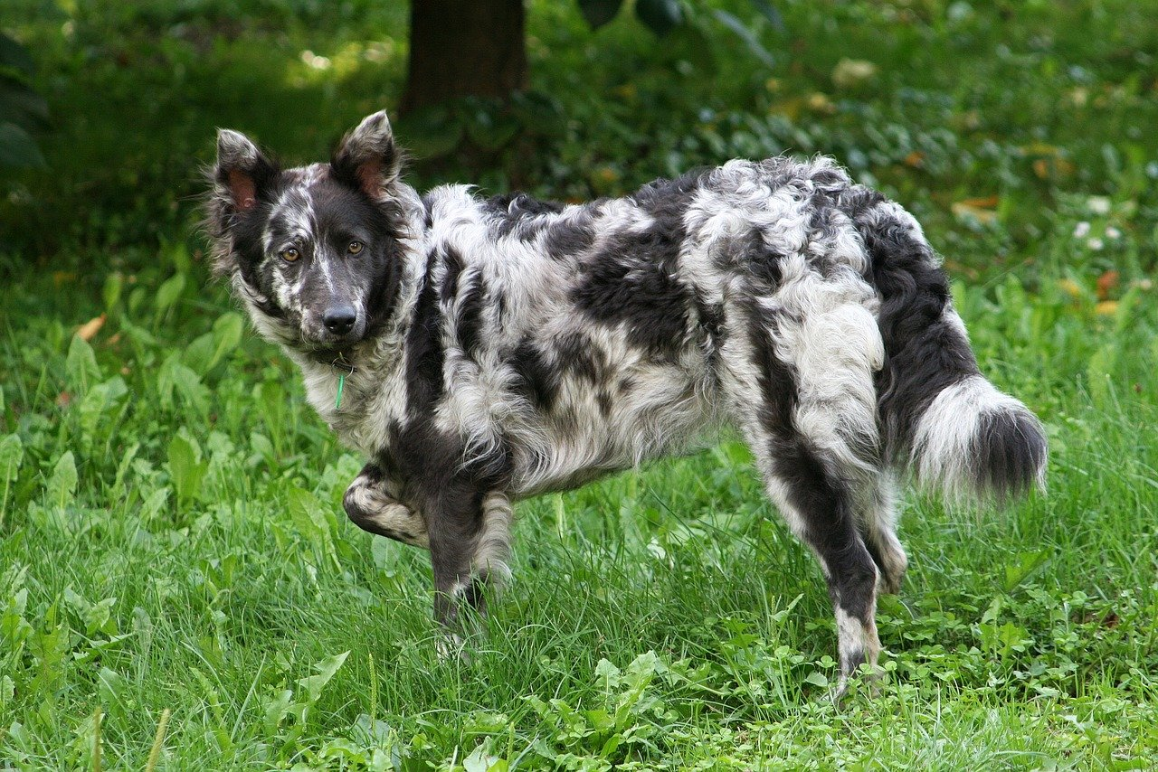 Азорская пастушья собака (Азорская овчарка, Сан-Мигельский фила)
