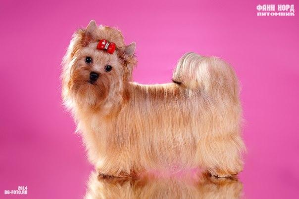Русская салонная собака (Русалка)