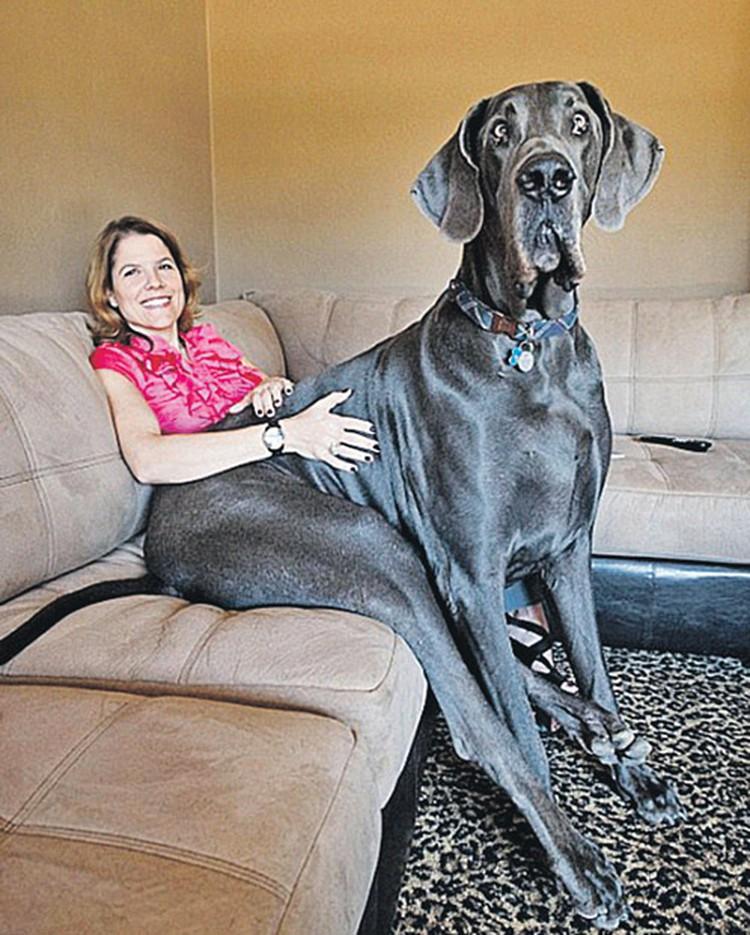 Топ-5 крупных пород собак для городской квартиры