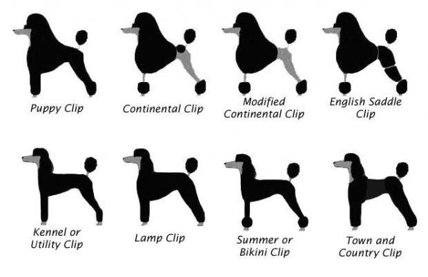 Малый пудель: описание породы, рост и вес