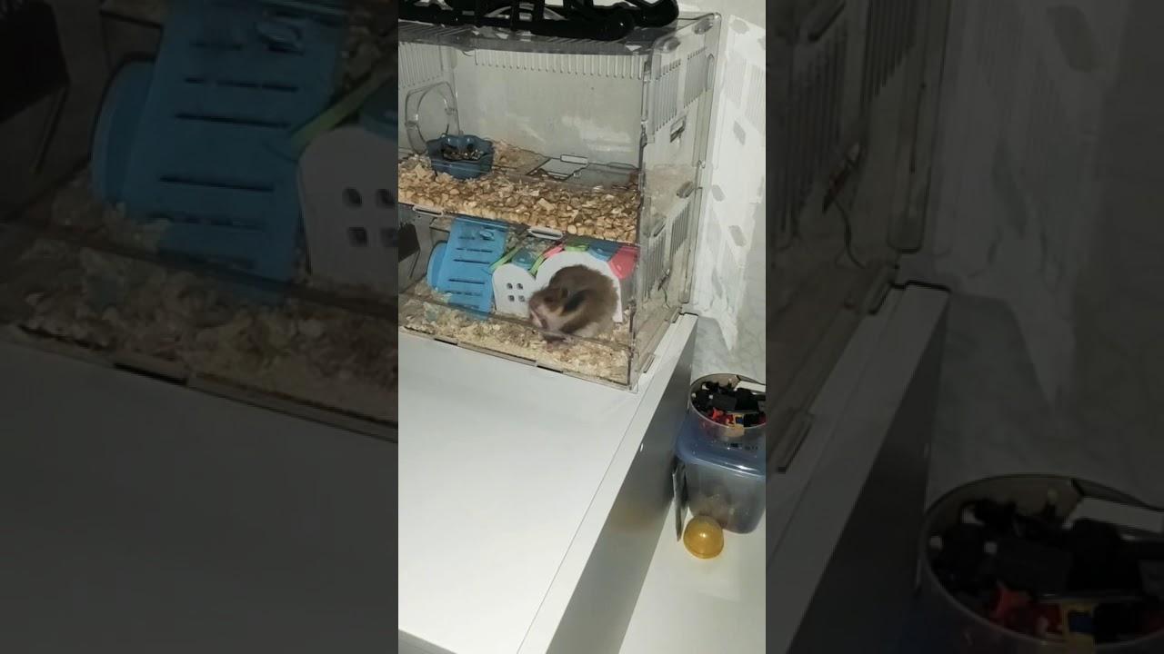 Как найти хомяка в квартире, если он сбежал из клетки