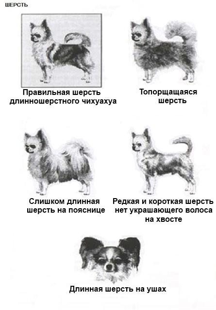 Чихуахуа: разновидности, окрасы и типы собак