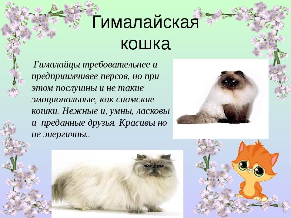 Всё о гималайской кошке