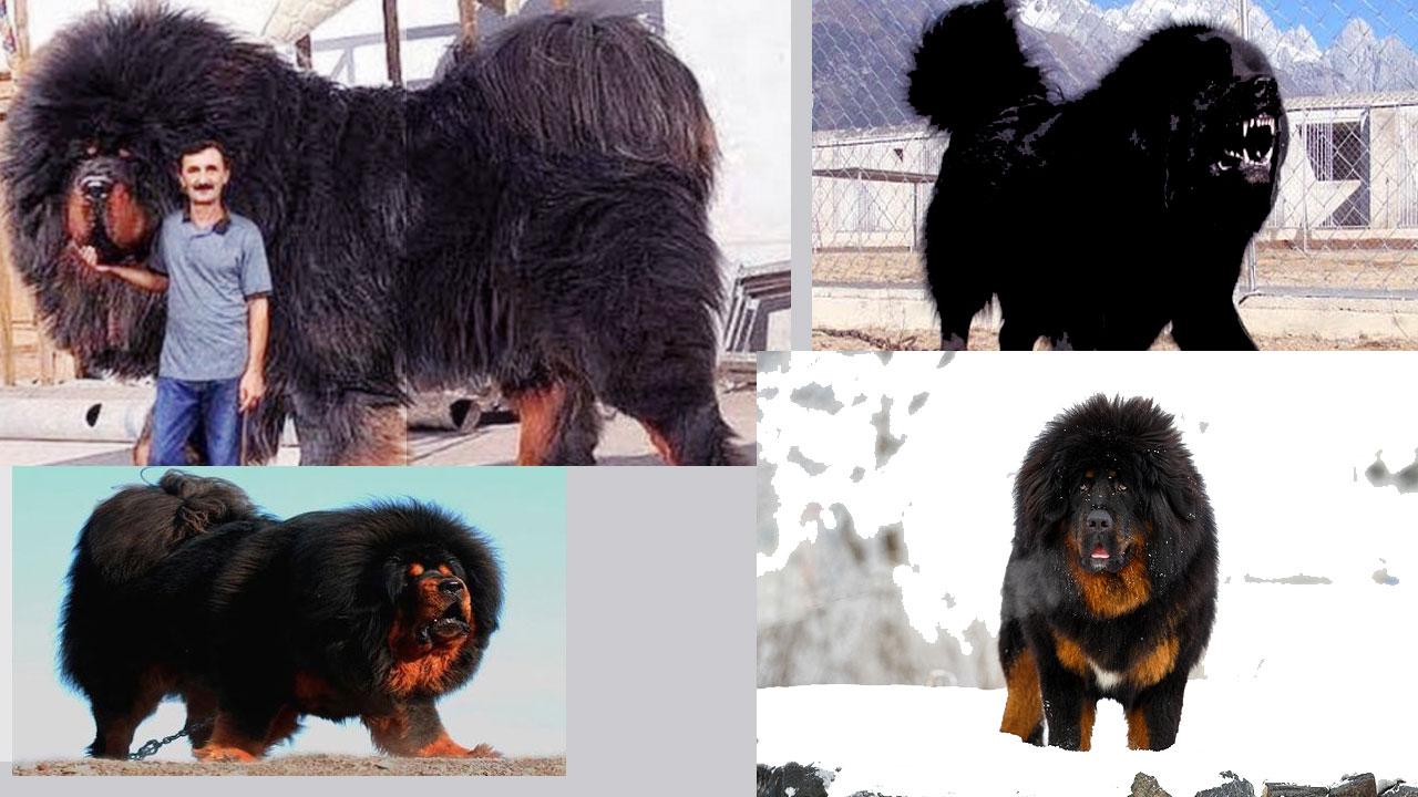 Тибетский мастиф с человеком: характеристика породы