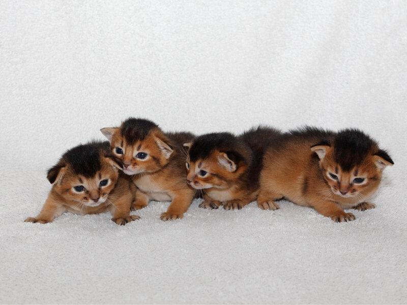 Маленькие котята: список карликовых пород и их описание