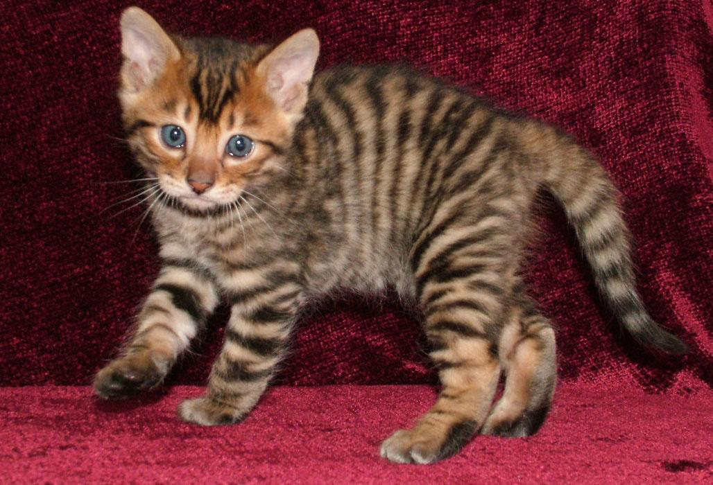 Тигровая кошка: описание и названия популярных пород
