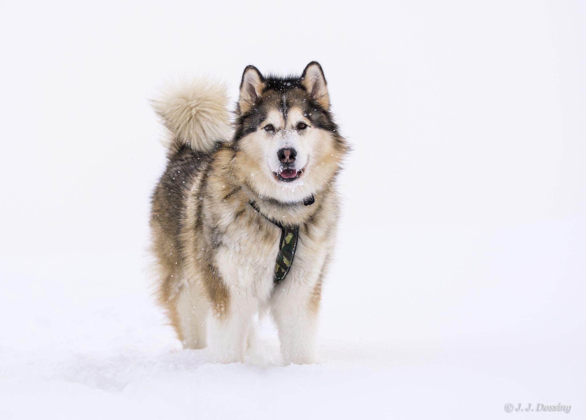 Аляскинский хаски