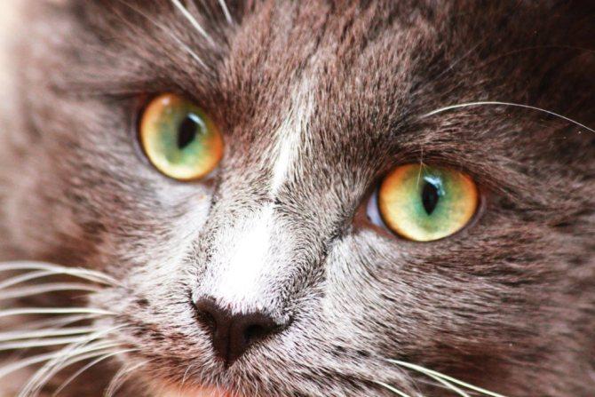 Кошки с разными глазами — примеры как называются породы