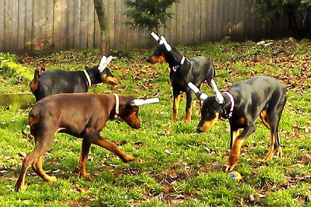 Зачем купируют уши и хвосты собакам и каким породам это делают