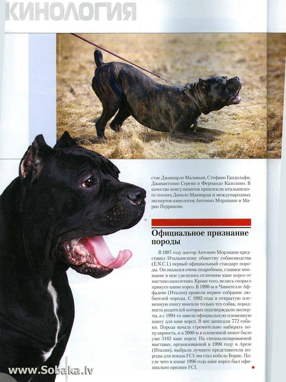 Кане корсо: описание итальянской породы собак