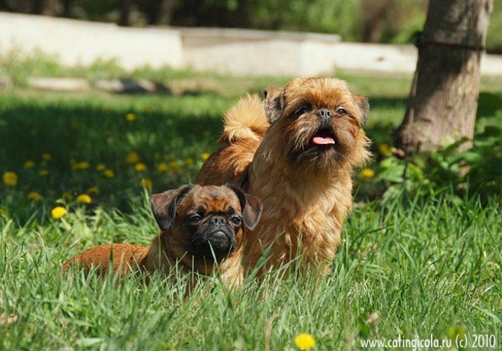 Брюссельские грифоны: очаровательные и необычные комнатные собачки