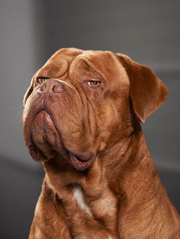 Бордоский дог — ласковый флегматик с устрашающей внешностью