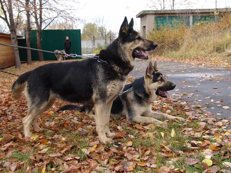 Восточно-европейская овчарка и немецкая овчарка: отличия